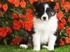 Shetland Sheepdog Puppy wallpaper